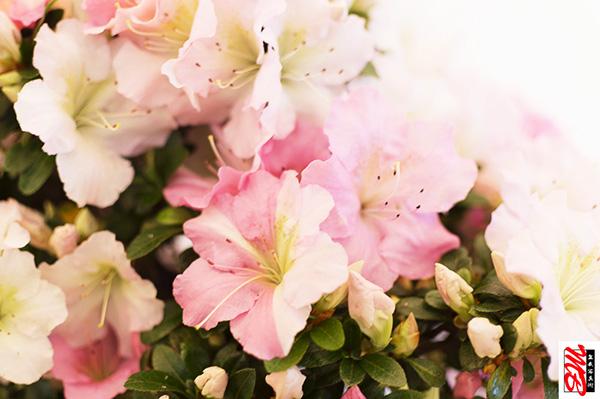 Blüten eines Azaleen-Bonsai