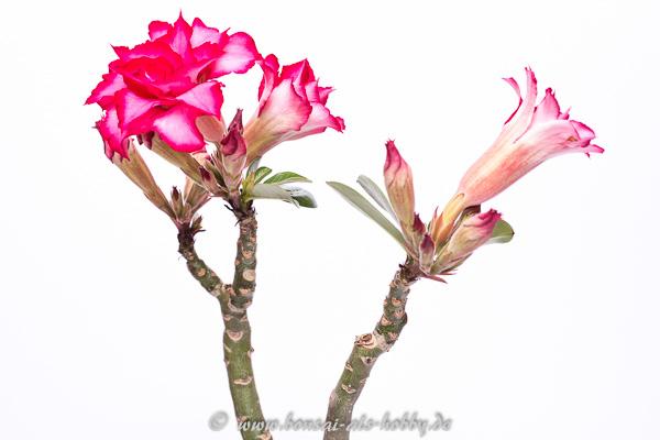 Adenium mit Blüten