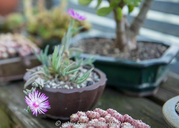 Blühendes Delosperma als Akzentpflanze