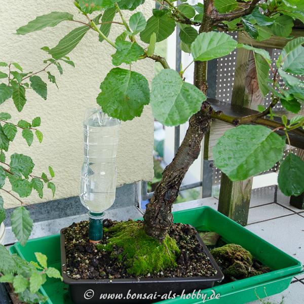 Bewässerungskegel an einer Schwarzerle