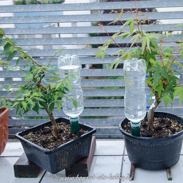 Bewässerungskegel Für Flaschen : bew sserung von bonsai mit pet flaschen und tonkegel ~ Lizthompson.info Haus und Dekorationen