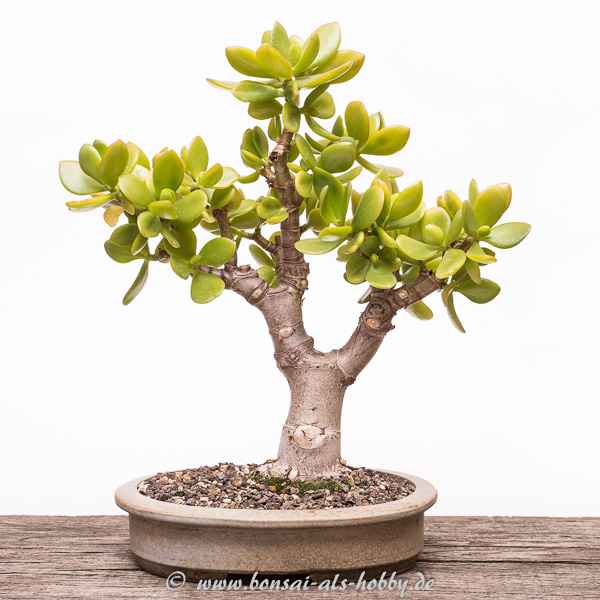 Crassula ovata Bonsai im Juli 2015