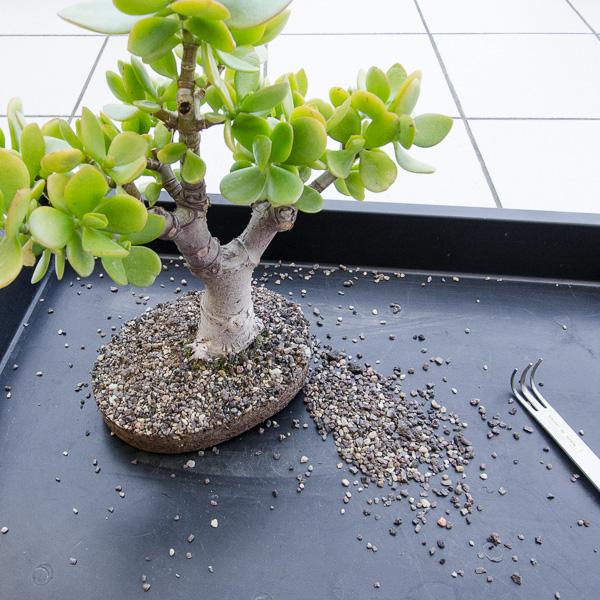 Crassula ovata Bonsai ohne Schale