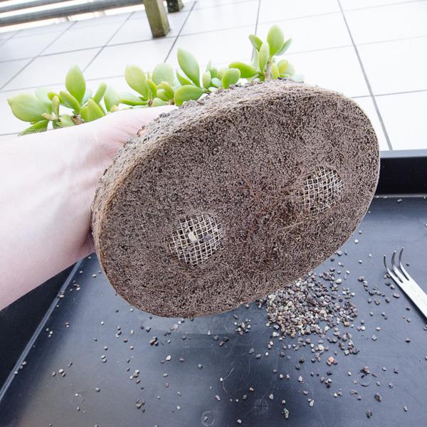 Bonsai hat die Schale durchwurzelt