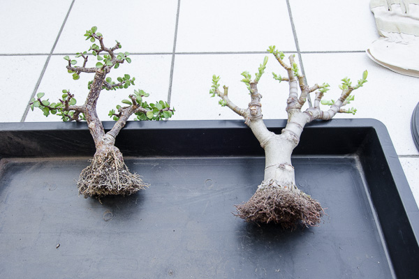 Jadebaum und Geldbaum