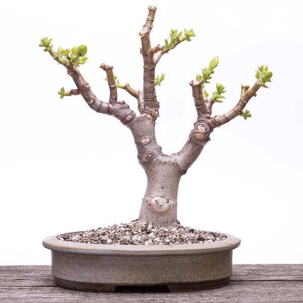 Frisch umgetopfter Geldbaum-Bonsai