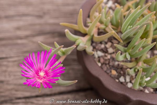 Violette Blüte Delosperma cooperi
