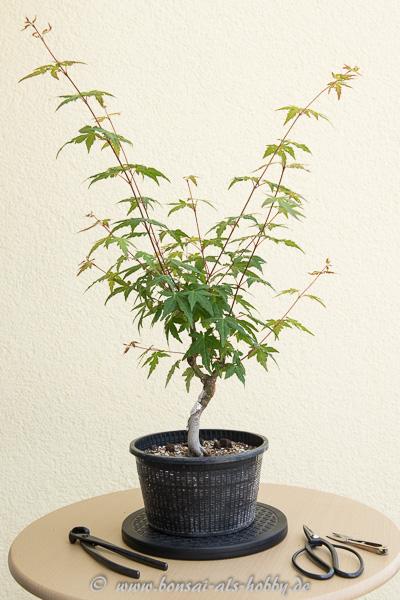 sommerarbeiten an ein paar laubbaum bonsai zelkoven ahorn. Black Bedroom Furniture Sets. Home Design Ideas