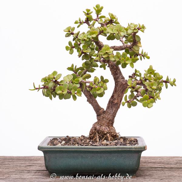 Jadebaum (Portulacaria afra) Bonsai im Juli 2015