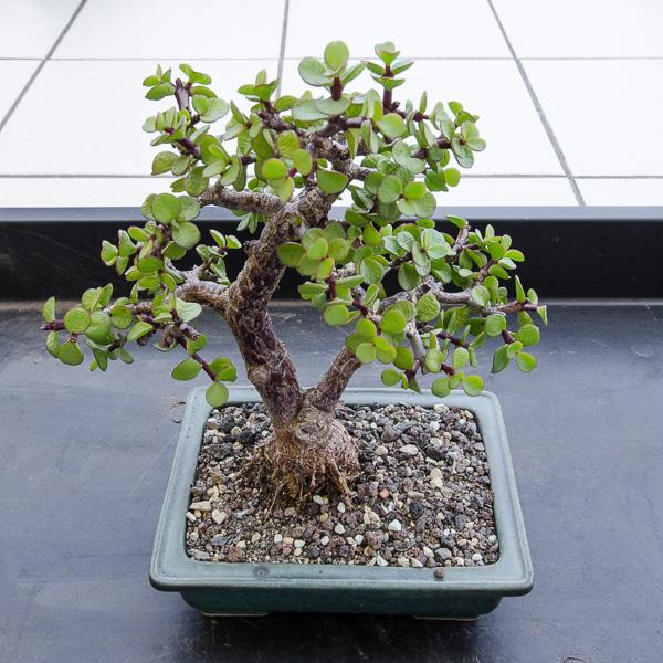 Jadebaum (Portulacaria afra) im Juli 2015