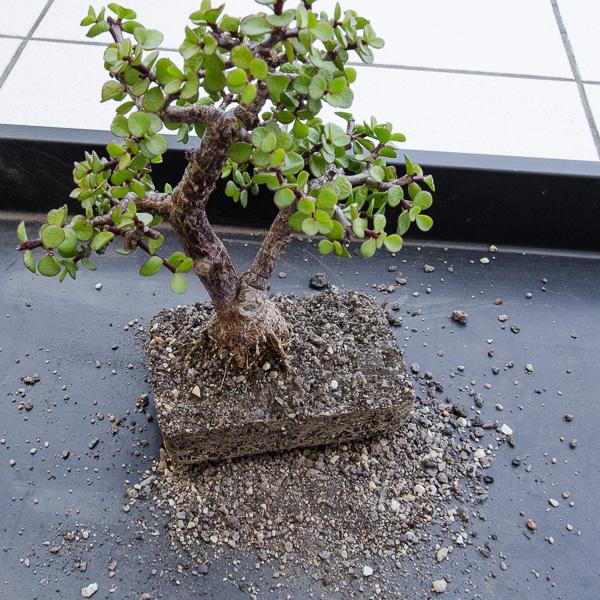 Jadebaum im Juli ausgetopft