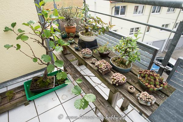 Ende september   bonsai auf dem balkon   herbstanfang!