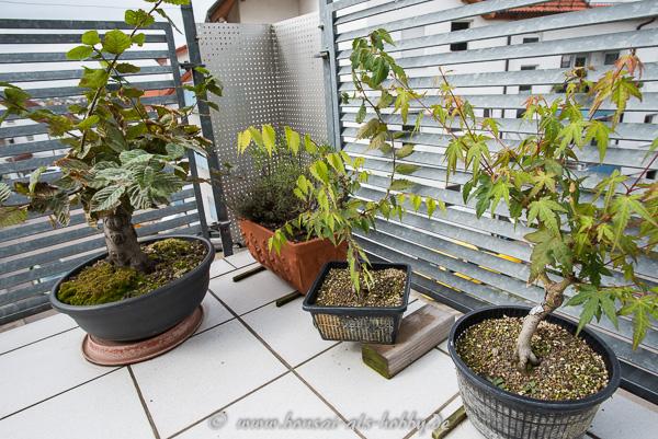 3 Laubbäume auf dem Weg zum Bonsai