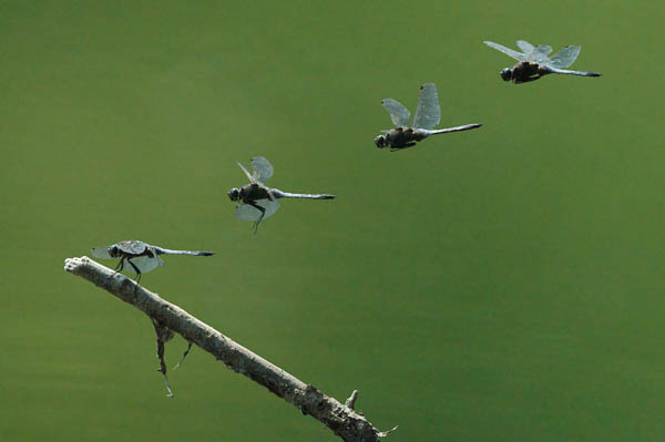 Blaupfeil (Libelle) im Flug