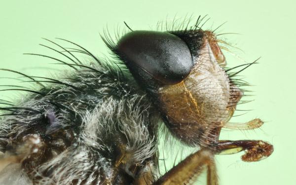 Portrait einer kleinen Stubenfliege