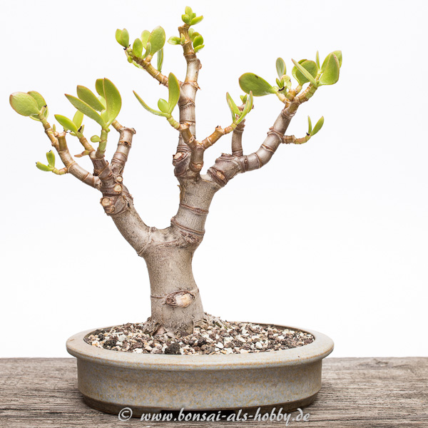 crassula ovata als bonsai 2015 2 geldb ume als beispiel. Black Bedroom Furniture Sets. Home Design Ideas