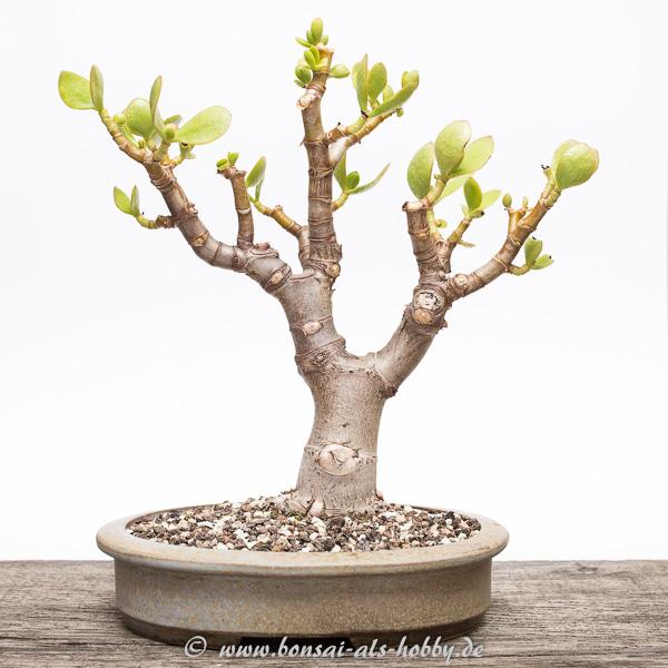 Andere Seite Crassula ovata Bonsai