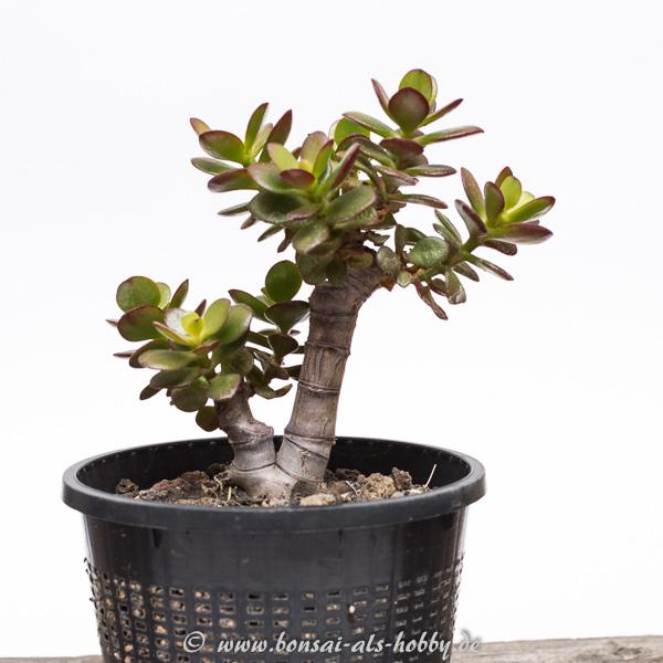 Crassula ovata var. minor 1. Pflanze 2015 Jahreswachstum