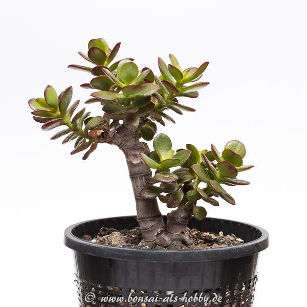 Crassula ovata var. minor 1. Pflanze 2015 andere Seite