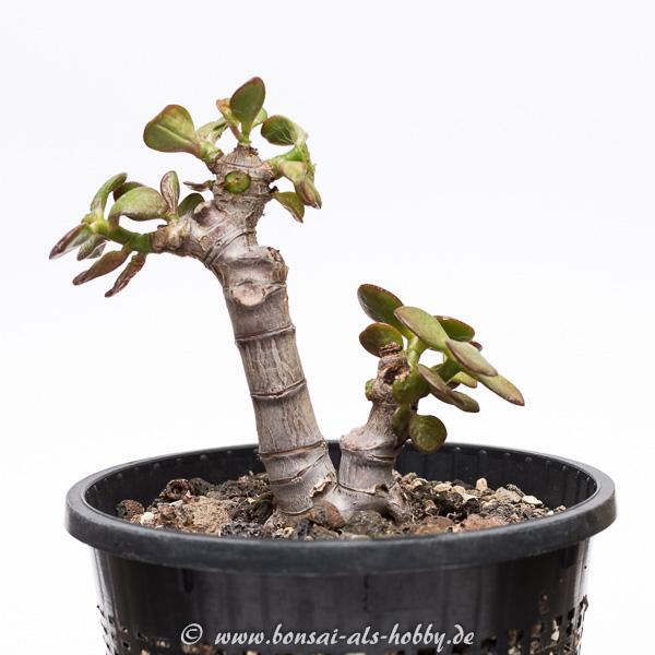 Crassula ovata var. minor 1. Pflanze 2015 Rückschnitt