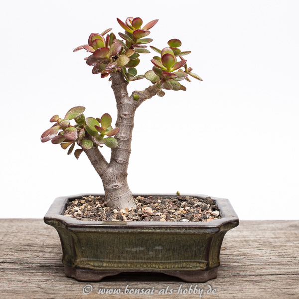 Crassula ovata var. minor Bonsai 2015