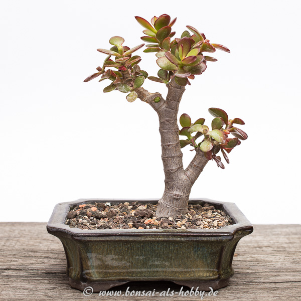 Crassula ovata var. minor Bonsai 2015 andere Seite