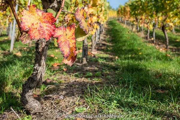 Rotes Weinlaub im Herbst