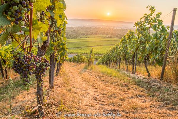 Weintrauben im Sonnenaufgang