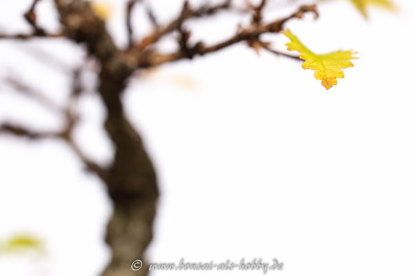 Herbstfärbung an einer Korkrindenulme