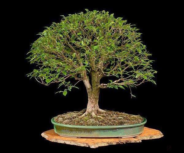 interview mit 7 bonsai experten ber 30 tipps f r anf nger. Black Bedroom Furniture Sets. Home Design Ideas