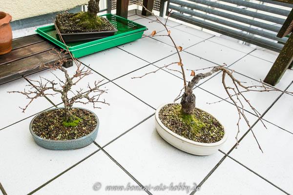 Zelkova nire und Carpinus orientalis