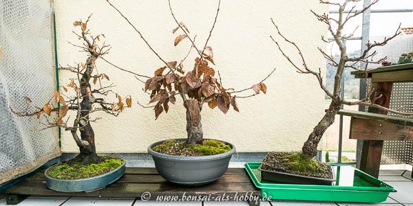 2x Carpinus betulus und Alnus glutinosa