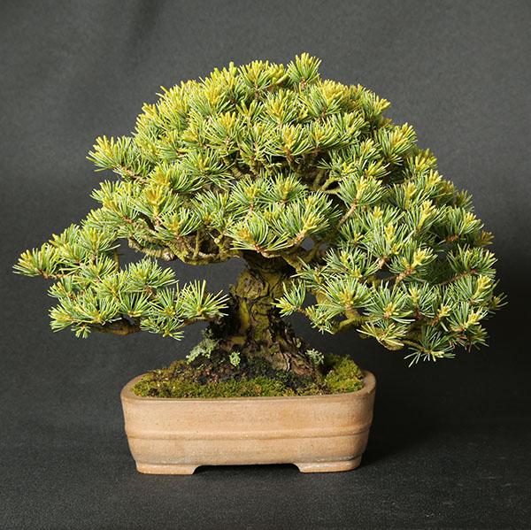 Mädchenkiefer (Pinus parviflora) Shohin von Roland Schatzer