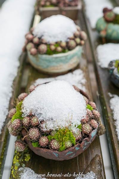 Schnee auf einem Sempervivum mit Moos