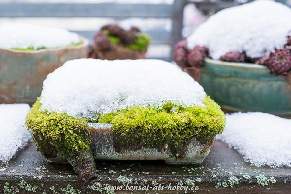 Moos-Akzentpflanze mit Schneehaube