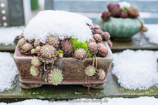 Hauswurz Akzentpflanze mit Schnee