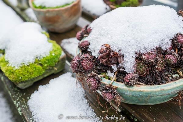Erster Schnee - Hauswurz und Moos Kusamono