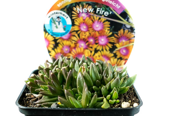 "Delosperma ""New Fire"""