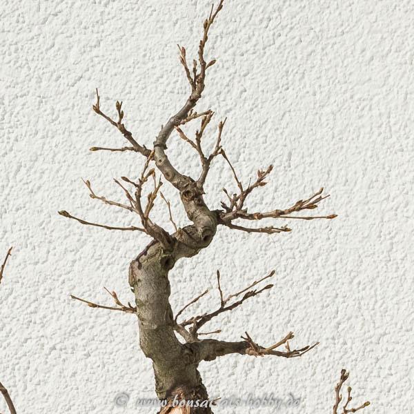Die Baumspitze als Shohin-Hainbuche?
