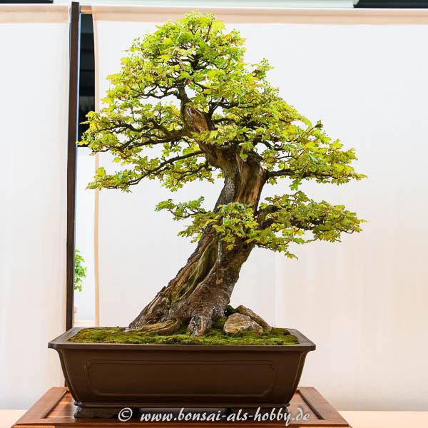 Feld-Ahorn (Acer campestre)