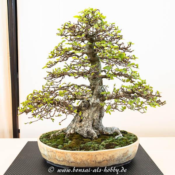 Koreanische Hainbuche (Carpinus turcaninowii)