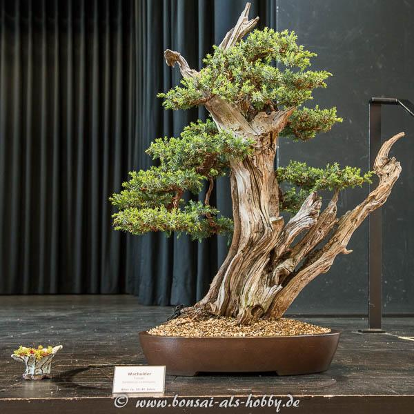 Gemeiner Wacholder (Juniperus communis)