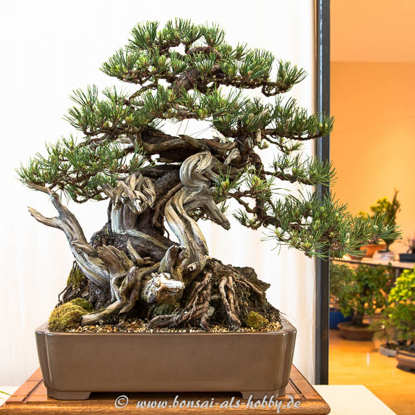 Berg-Kiefer (Pinus mugo)