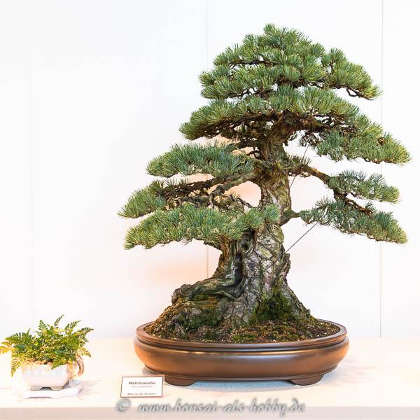 Mädchenkiefer (Pinus parviflora)