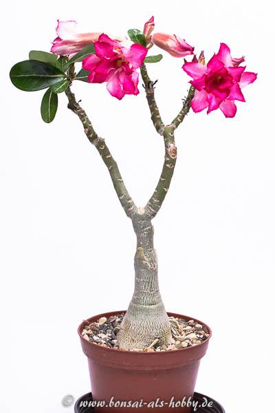 Adenium mit Blüten 2016