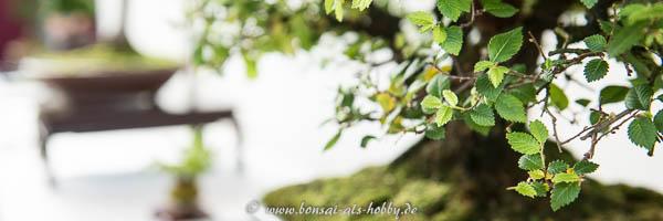 Ulme auf der Bonsaiausstellung Römerstein