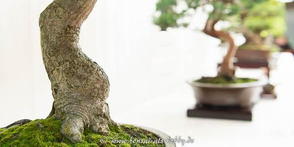 Nebari eines alten Acer palmatum Bonsai
