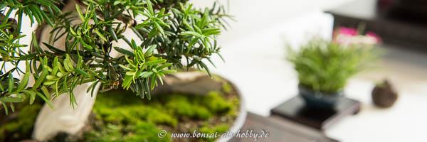 Nadeln Taxus baccata