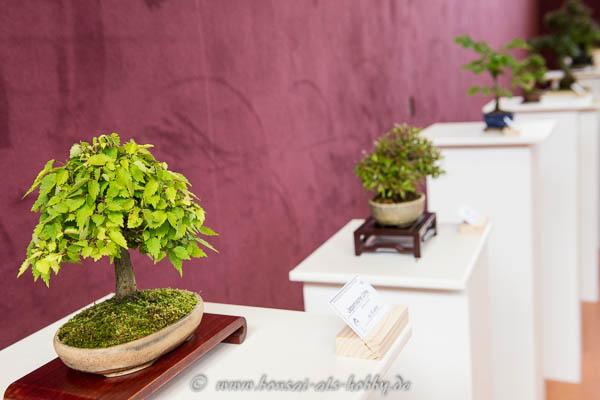 Shohin-Bonsai hervorragend präsentiert!