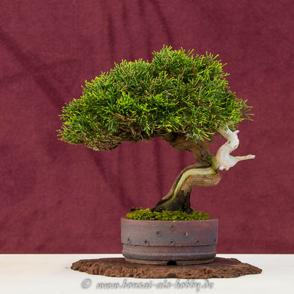 Shohin-Bonsai Juniperus chinensis